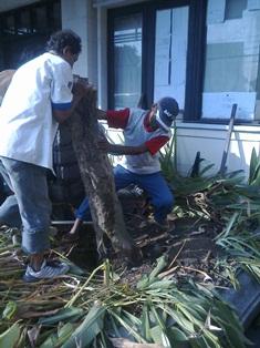 Memindahkan pohon-1, Jun.17,2014.jpg