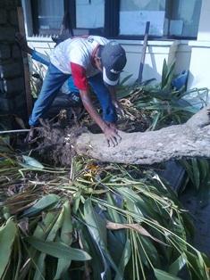 Memindahkan pohon-2, Jun.17,2014.jpg