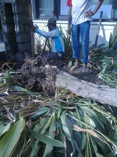 Memindahkan pohon-3, Jun.17,2014.jpg
