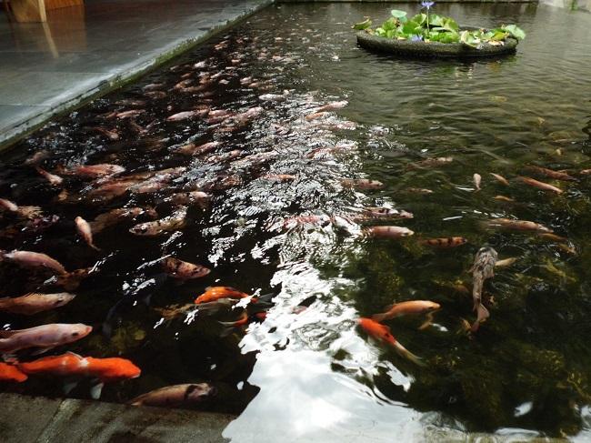 チャンディ ビーチ リゾート & スパ 池の鯉
