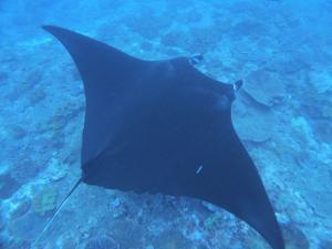 ダイバー必見!あのマンタに高確率で出会える場所がペニダ島にあり!