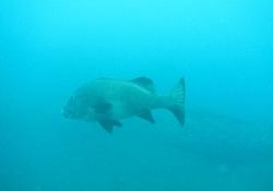 サイズがデッかかったハタ系の魚